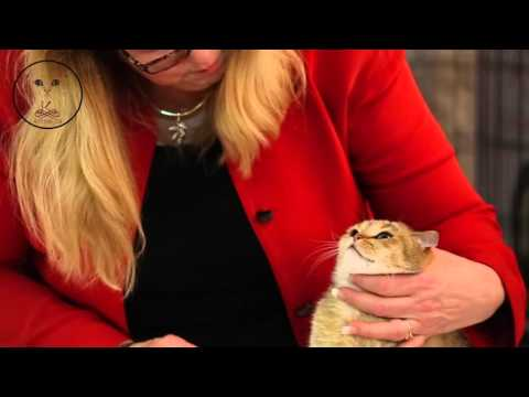 Kittens_q8 participation in Kuwait Cat Show - 2016 ( HD )