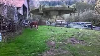 cow prober
