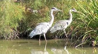 Pont de Gau Ornithological Park - Visiting Park, Part 1 - Camargue, France [HD] (videoturysta)