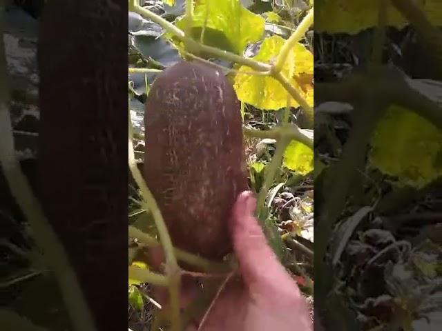 Trumpas filmukas apie agurkus