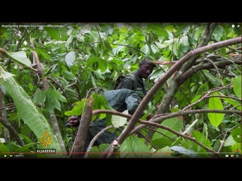 Illegal farming threatens Ivory Coast's cocoa industry