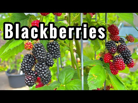 HOW TO GROW A BLACKBERRY IN POTS AND CONTAINERS • 2020