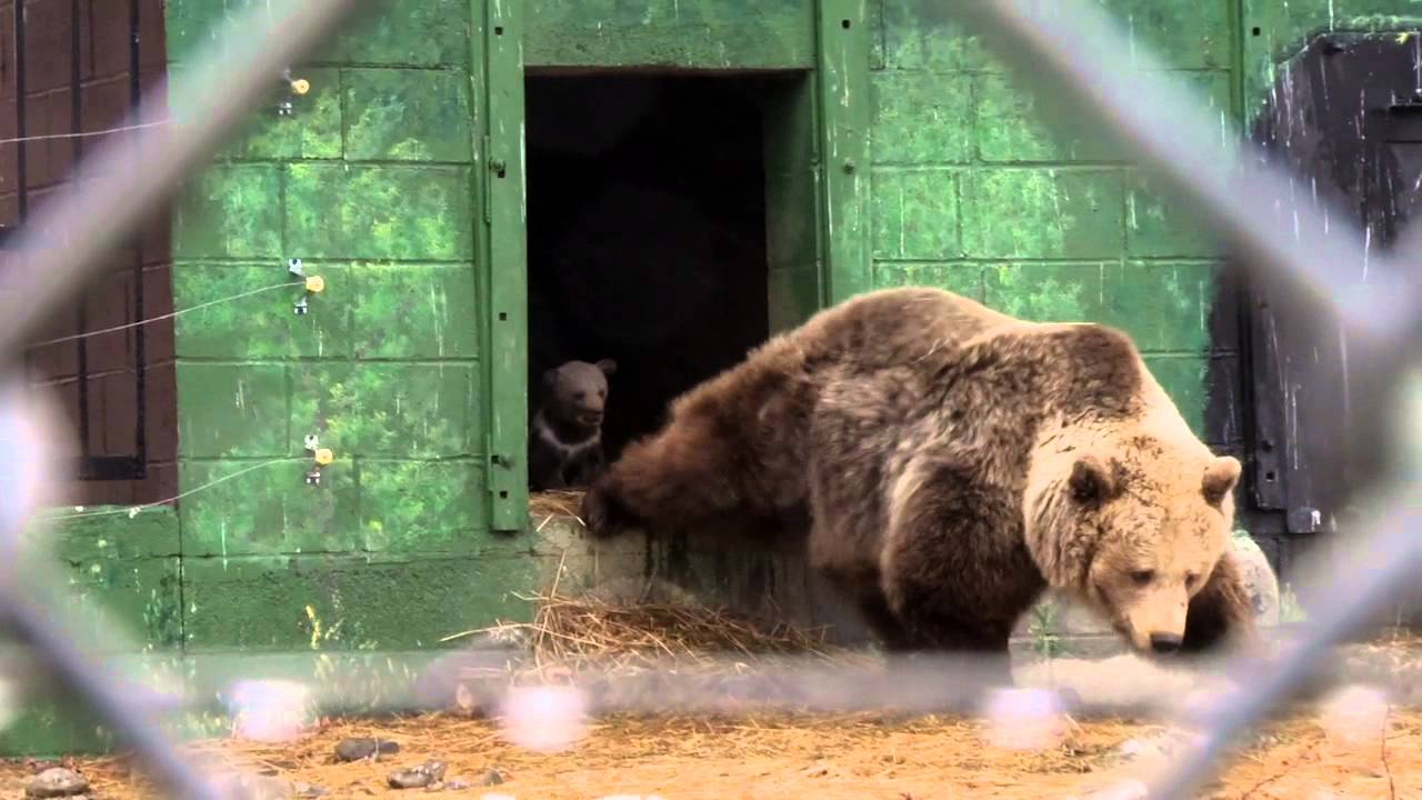 video first ever kodiak bear cubs born at space farm zoo and museum youtube