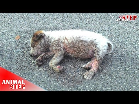 Little Puppy Almost Stepped On While Sleeping On Middle Road