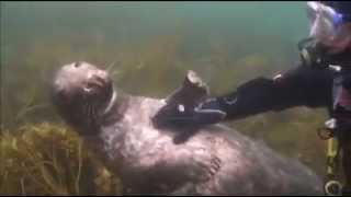 A diver gets up close with a seal on the Isles of Scilly