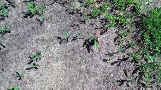 Майский жук. Насекомое майский жук попытки победить травинку)