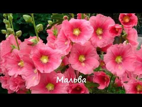 Какие цветы размножаются самосевом Фото+Названия