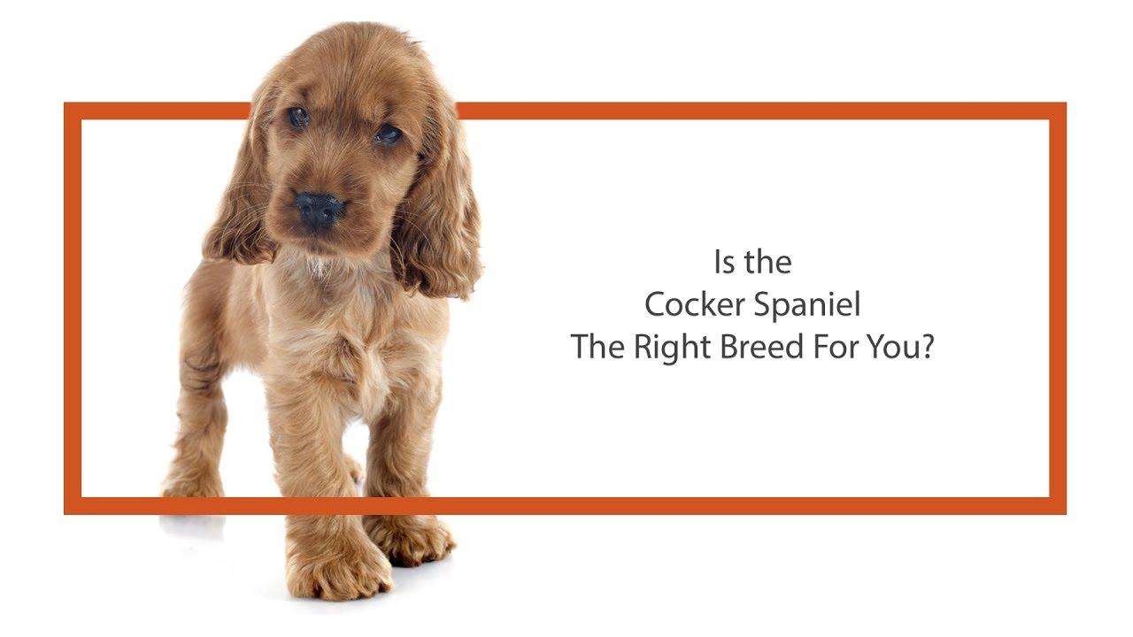 English Cocker Spaniel - Visit Petland Chicago Ridge in Cook County, IL