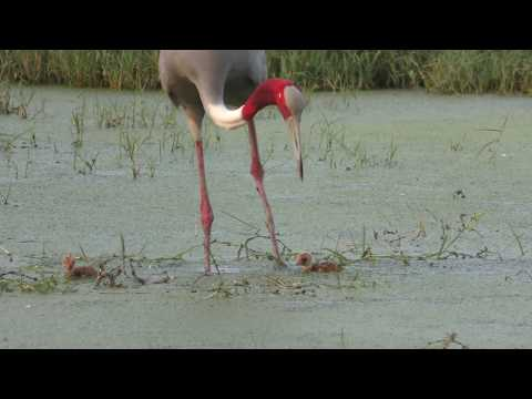 Sarus Crane Hatchlings Swimming (S1410010)
