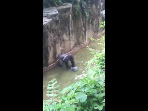 Copy of Copy of Cincinnati zoo kills gorilla to save boy who fell into enclosure HD Original