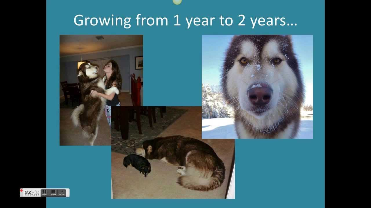 The full growth of a giant alaskan malamute youtube nvjuhfo Gallery