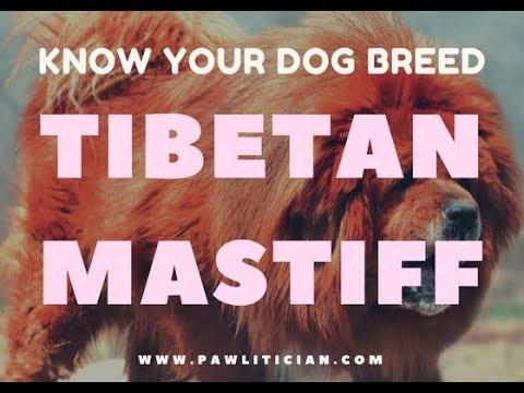 Tibetan Mastiff: Know your Dog Breed -|Ep 1: Pawlitician.com Dog Breed Info