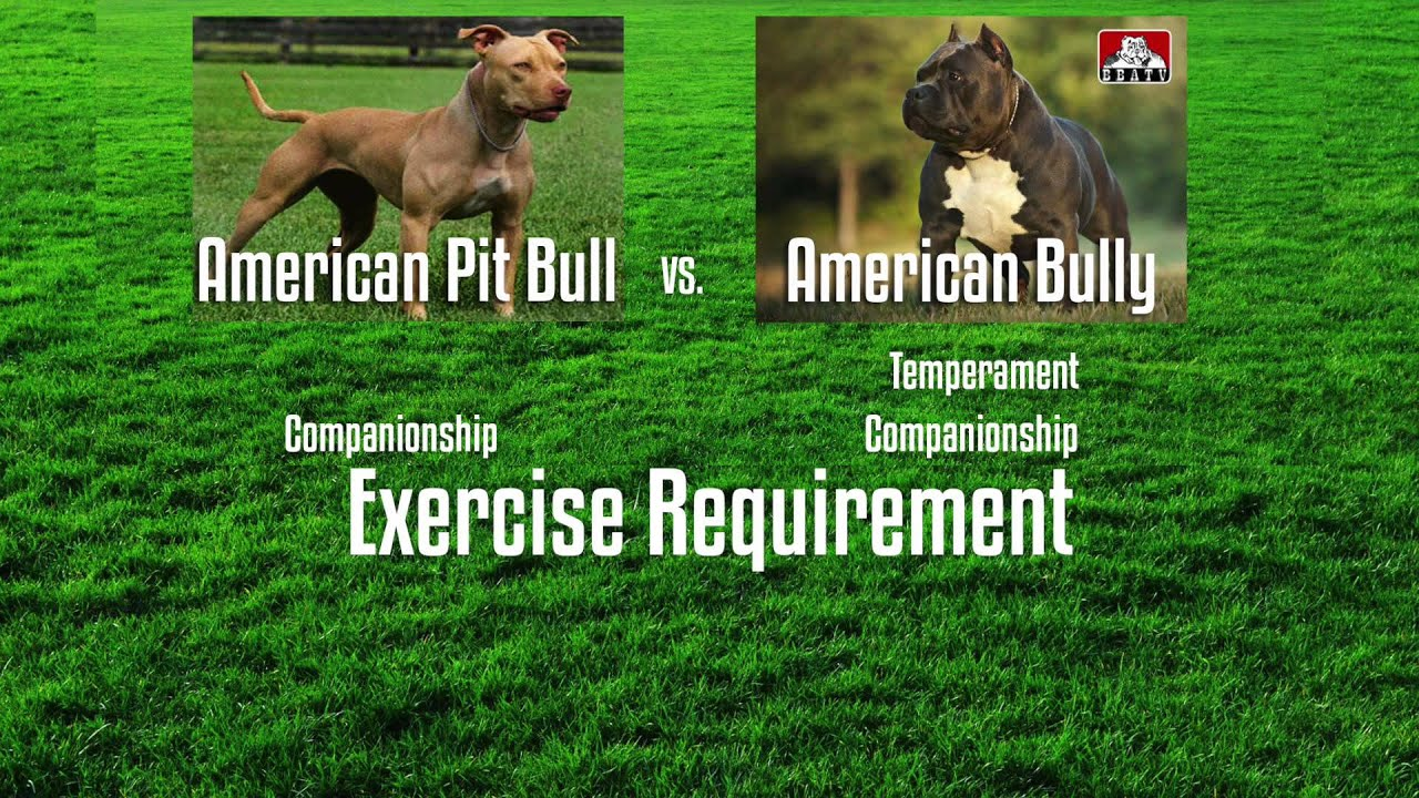 Apbt Vs American Bully A Buyer S Guide Youtube