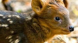 Worlds Smallest Deer One Week Old