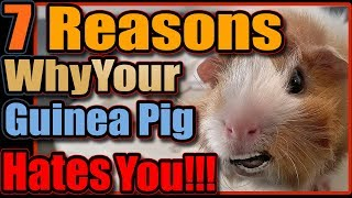 7 Reasons Why Your Guinea Pig Hates You!