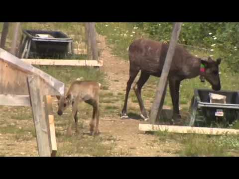 Discussion on research & impact of declining caribou population near Williston Basin