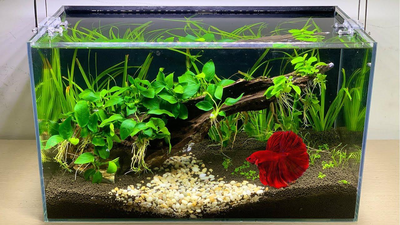 DIY Simple Planted Aquarium for Betta fish No Filter No Co2 - Mini Aquascape - Mr Decor #203