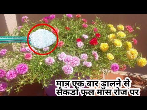 पोर्टुलाका में एक बार एक चम्मच और पाएं ढेरों फूल। fertilizer for mossRose / 9 o, clock plant