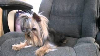 Priceless Yorkie Puppy Our Adorable Yorkshire Teacup Stud Nikko