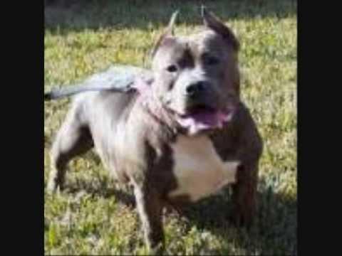 Blue Pitbulls For Sale | Bluenose | Pit Bulls | Puppies