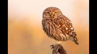 Kukumav (Cüce Baykuş) Little Owl - Athene noctua