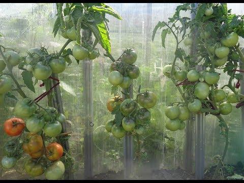 ПОЛУЧАЮ 5 ВЕДЕР ТОМАТОВ С 1 МЕТРА ЗЕМЛИ! Ольга Чернова. | огородников | штамбовые | чернова | томатов | занятых | богатый | урожай | огород | сорта | ольга