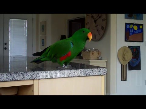 Eclectus parrot singing and  talking