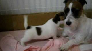 ヨチヨチ歩きなのに母犬と対等にガウる子犬。 http://sumitani.jugem.jp...
