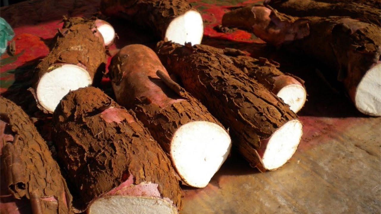 Resultado de imagem para cultivo de mandioca