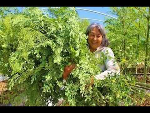 Moringa- The Wonder Tree