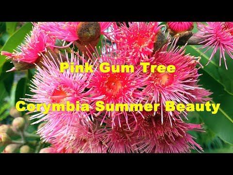 Pink gum tree corymbia summer beauty hd 04 youtube pink gum tree corymbia summer beauty hd 04 mightylinksfo