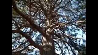 Nebraska State Champ Ponderosa Pine