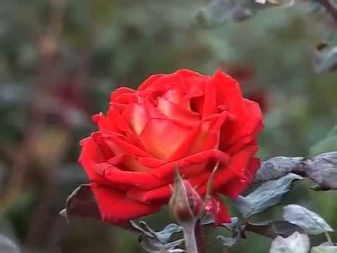 История роз и виды роз от Питомника роз Рязанова.из YouTube · Длительность: 5 мин  · Просмотры: более 1.000 · отправлено: 05.10.2015 · кем отправлено: Частный питомник роз Рязанова