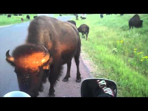 Buffalo Encounter on Motorcycle, Custer, SD 2010