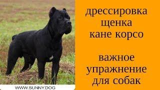 Дрессировка щенка кане корсо.  Важное упражнение для собак