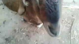 Beautiful Goats |Barbari Breed |Documentary