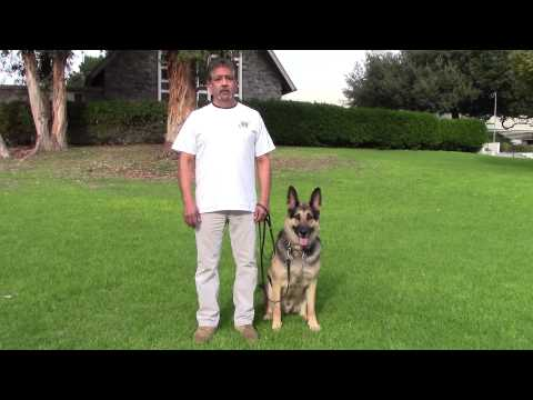 sirius-k9-academy-basic-obedience-test-demonstration---sit-/-down-/-sit-@-side