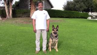 Sirius K9 Academy Basic Obedience Test Demonstration - Sit / Down / Sit @ Side