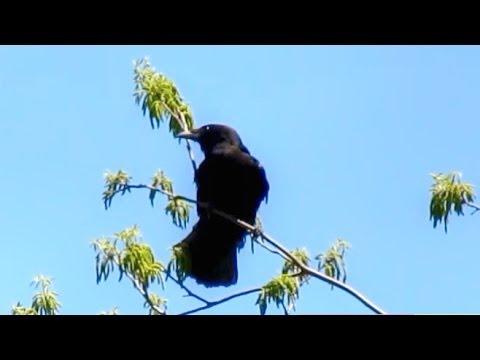 American Crow Calling