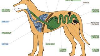 Эволюция пищеварительной системы животных