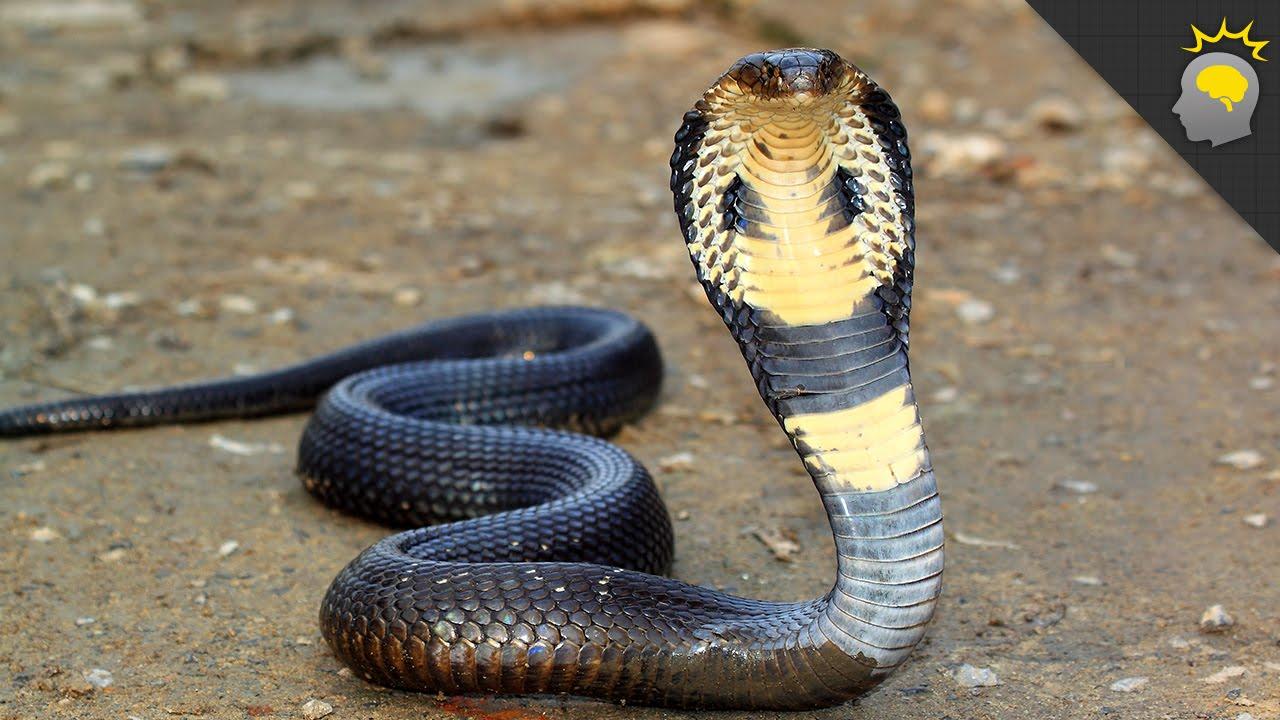 King Cobra Mania Science On The Web 107 Youtube