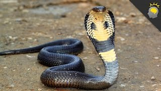 King Cobra Mania - Science on the Web #107