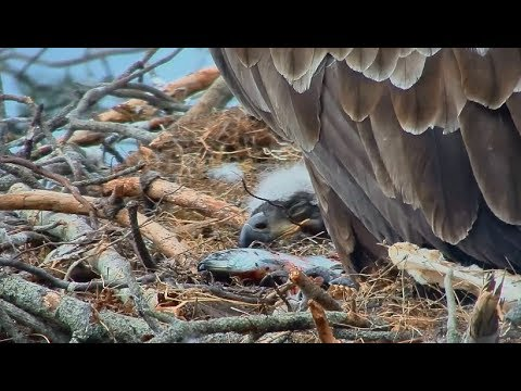 Smola Norway Eagle Cam ~ Dreaming Of Fish Tails ~ Live Floppy Fish Delivery 5.20.18