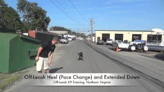8-month Old High Energy Lab's Amazing Before/after Video! K9 Training, Northern Va