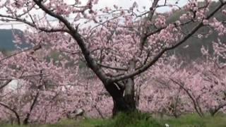甲斐犬ハヤテと春の散歩 桃の花、桜の花が綺麗です(^^