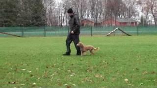 Rusty (australian Goldendoodle) - Boot Camp Level I. Dog Training