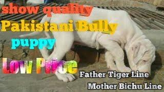 Pakistani bully puppy sale  // parihar dog kennel //