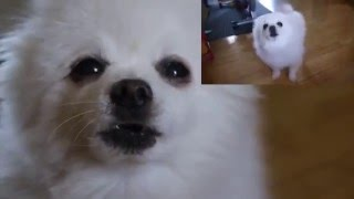 Gabe the dog - The Final Borkdown