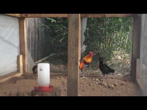 Repeat Red jungle fowl chicks 2016 by Tsov Laus Channel