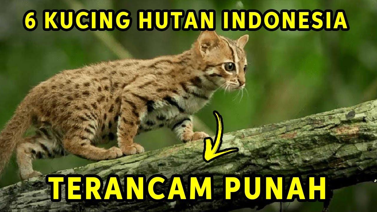Menyedihkan 6 Jenis Kucing Hutan Asli Indonesia Yang Populasinya Terancam Punah Youtube